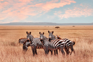 Wild African zebras in the Serengeti National Park. Wild life of Africa. © delbars