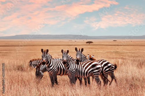 Foto Murales Wild African zebras in the Serengeti National Park. Wild life of Africa.