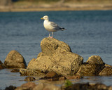 Seagull on top of a rock in the sea