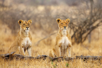 The Southern lion (Panthera leo melanochaita) ,East-Southern African lion or Eastern-Southern African lion or Panthera leo kruegeri. Two lionesses are watching the prey behind a dry tree trunk.