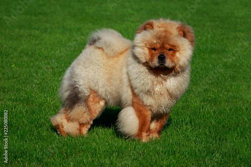 Dog breed chow chow - 225080082