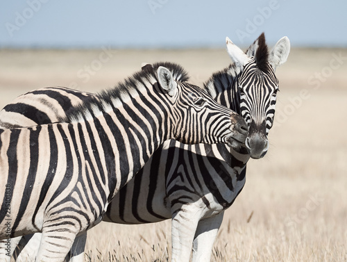 Two beautiful zebras in the African savannah. - 225108838