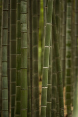 green bamboo forest inside park © Yi