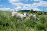 Vacas blancas pastando cerca de Montalegre, Terras de Barroso. Tras-os-Montes, Distrito de Vila Real. Portugal.
