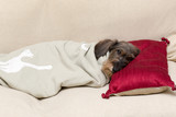 Cane bassotto a pelo ruvido dorme con cuscino