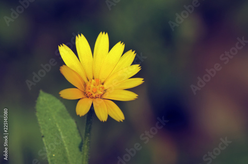 Calendula arvensis, Field Marigold, Crete - 225145080