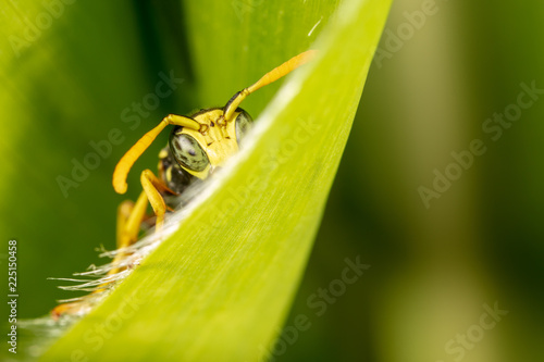 Portrait of a wasp on a green leaf - 225150458