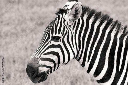 portrait of zebra - 225153627