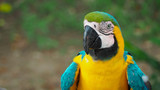 close up of a yellow macaw parrot in the amazon rainforest