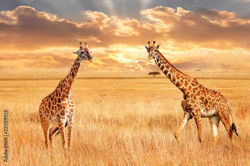Giraffes in the African savannah. Wild nature of Africa. Artistic African image.