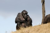 Fascinating Ape - Big Chimpanzee