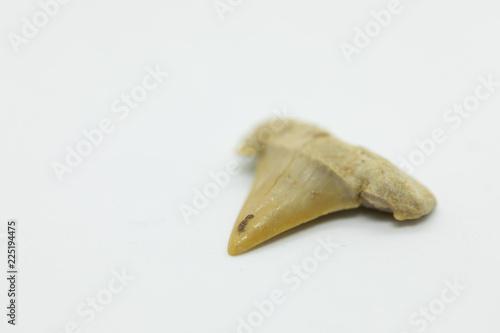 Fototapeta 鮫の歯の化石