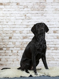 Black labrador dog portrait. Image taken in a studio with a brick wall as a background.  - 225195663