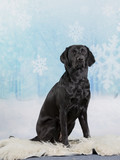 Black labrador dog portrait. Image taken in a studio with snowy background.  - 225195688