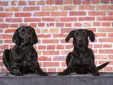 Black labrador dog portrait. Red brick wall as a background - 225196277