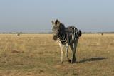 Single wild zebra walks in a field in ukrainian reserve Askania-Nova - 225202670