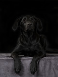 Black labrador puppy isolated on black. Black background in a studio. - 225205060