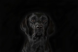 Black labrador puppy isolated on black. Black background in a studio. - 225205086