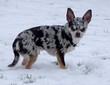 Chihuahua dans la neige - 225207281