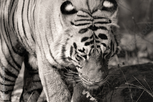 Fototapeta Matkasur, large male tiger from Tadoba National Park, India