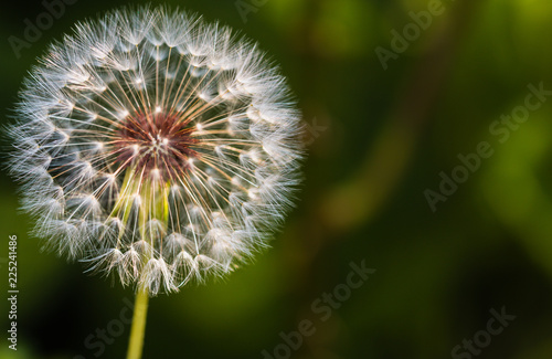 Close-up of dandelion seed against a background - 225241486