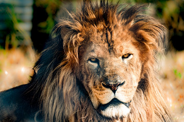 Male Lion close up with a terryfing stare.