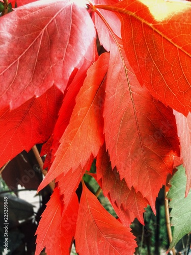 red autumn leaves on black background - 225259849