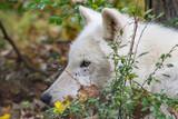 Arctic Wolf Face Profile