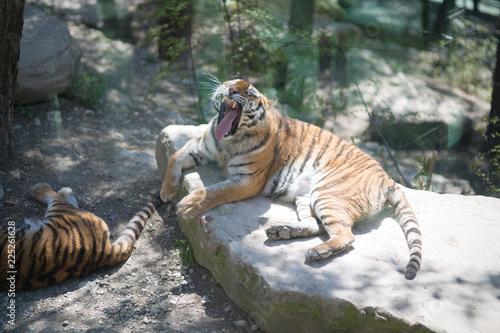 Fototapeta Tiger at the zoo