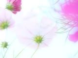 Fototapeta Kosmos - ふんわり優しいコスモスの花 © hiro cafe