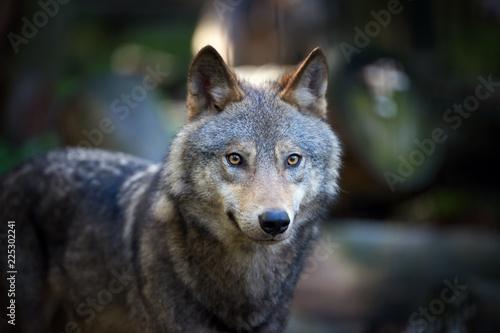 Fototapeta Wolf in autumn forest