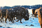 Aurochs bison in nature / winter season, bison in a snowy field, a large bull bufalo - 225303856
