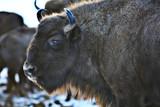 Aurochs bison in nature / winter season, bison in a snowy field, a large bull bufalo - 225303884