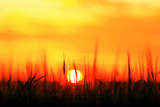 Grass in the field at sunset - 225309825