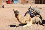 lying camel in the desert sand sun - 225310849