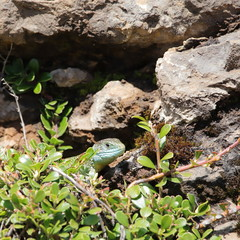 Western green lizard hidden in his shelter, Lacerta bilineata specie