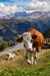 Quadro italian  cows on a pasture