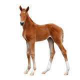 A foal, standing calmly and looking into the distance. - 225341093