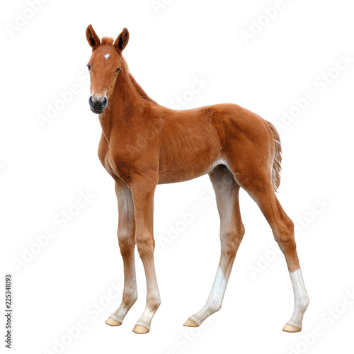 A foal, standing calmly and looking into the distance.