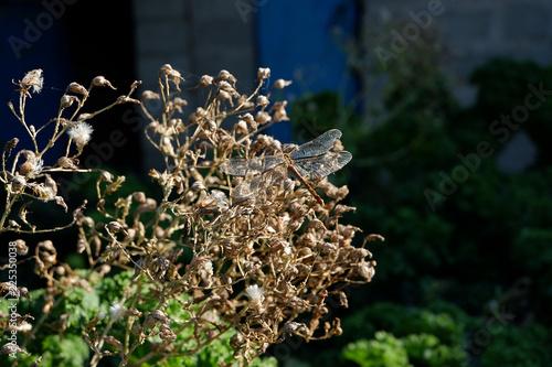 Fototapeta Golden chameleon dragonfly