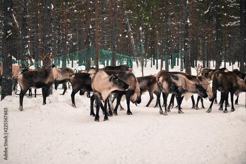 the guest of the reindeer herders