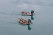 Leinwandbild Motiv Duck in the water
