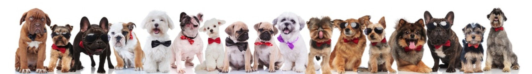 many stylish dogs of different breeds wearing bowties and sunglasses © Viorel Sima