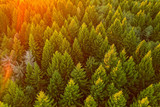 Aerial view on a pine forest on sunset