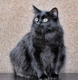 thick fluffy black cat - 225405460