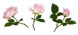 Set of pink rose flower and green leaves - 225411050