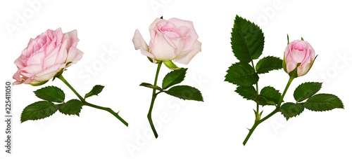 Set of pink rose flower and green leaves