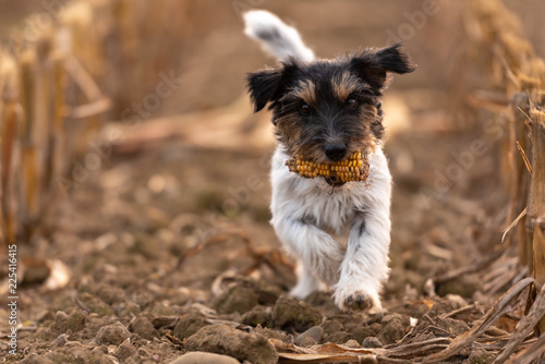 Leinwanddruck Bild Dog running over harvested corn field in autumn. jack russell terrier 3 years old