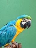 Guacamayo color celeste, amarillo y verde