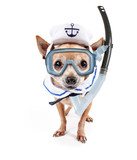 cute chihuahua dressed up in a military navy costume with a cap studio shot on an isolated white background with a diving scuba mask and snorkel